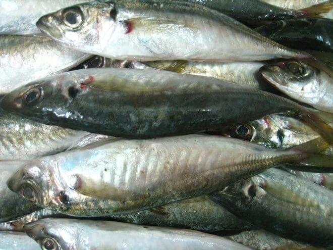 Cá nục là loại cá biển có giá trị kinh tế và dinh dưỡng cao