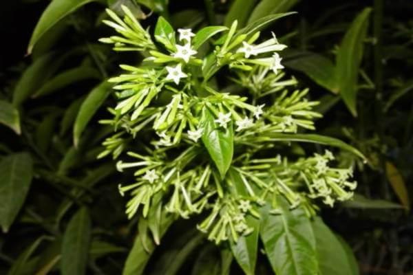 Hoa dạ hương