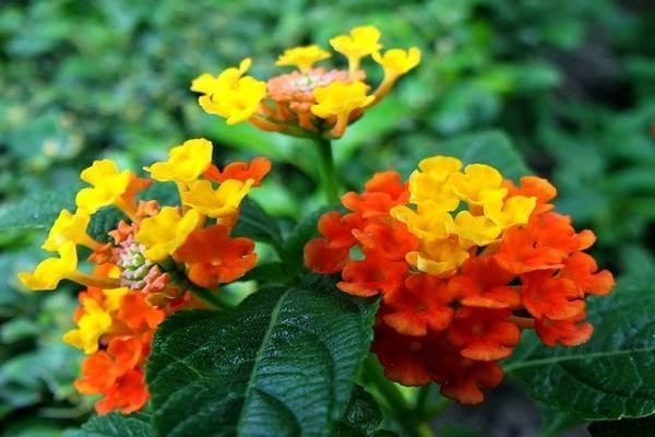 Hoa ngũ sắc/ hoa tỉ muội