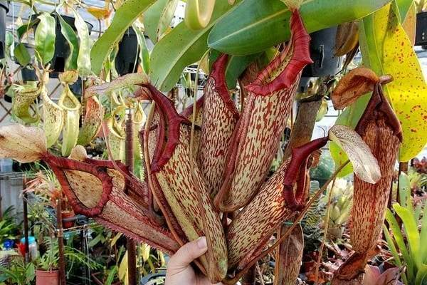 Cây bắt mồi – cây nắp ấm