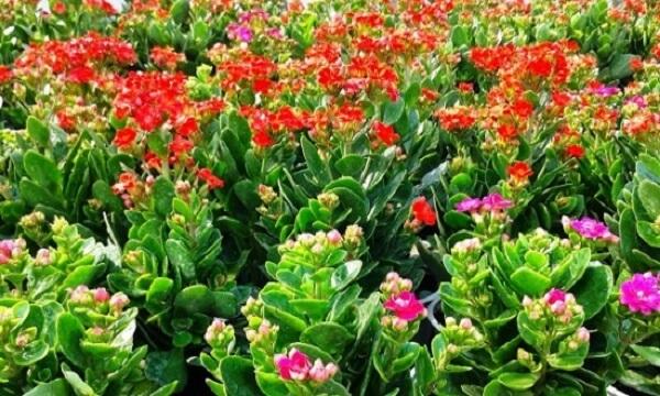 Hoa sống đời chậu – món quà thay lời chúc sức khỏe