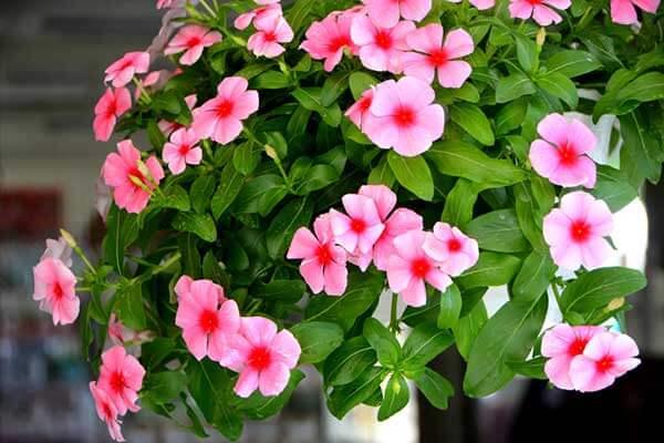 Hoa dừa cạn treo – chậu hoa may mắn đầy quyến rũ