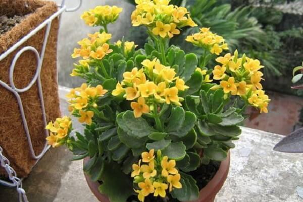 Cây sống đời dễ sống và phát triển nên kỹ thuật trồng và chăm sóc đơn giản.