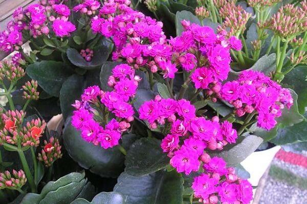 Hoa sống đời - Hình ảnh, Ý nghĩa phong thủy và Cách chăm sóc