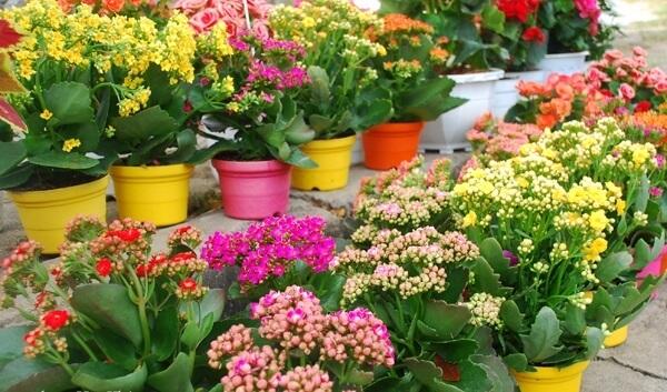 Cây sống đời dễ trồng, có thể trồng bằng cây con tách từ cây mẹ