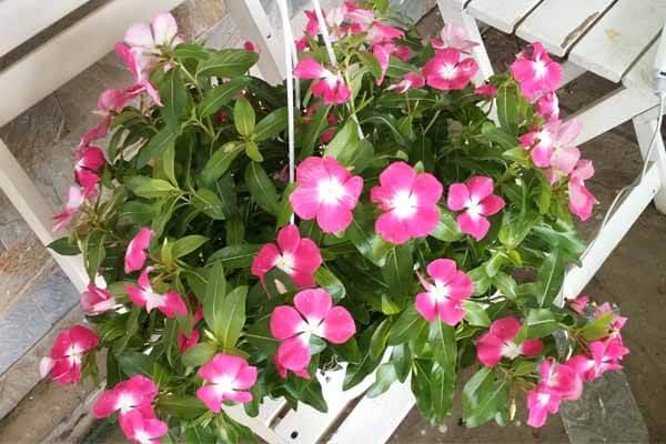 Hoa Sống đời (Kalanchoe) hay còn gọi là cây thuốc bỏng, cây lá bỏng