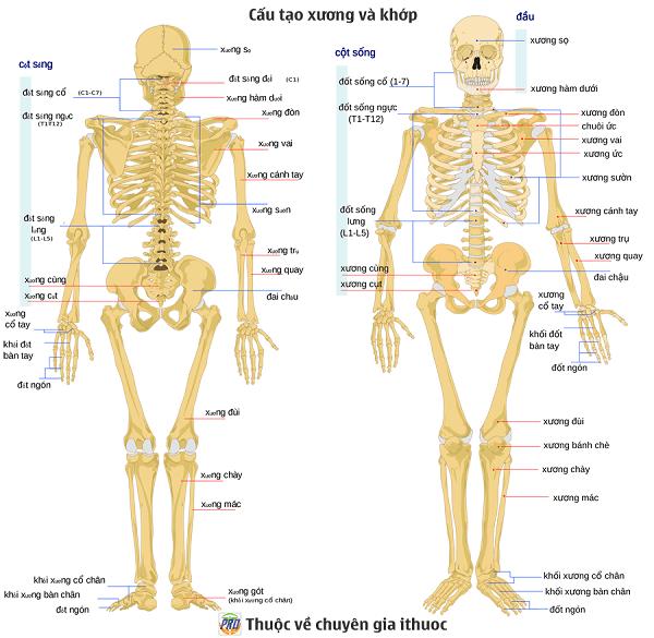 Phân biệt điểm giống và khác nhau giữa xương tay và xương chân