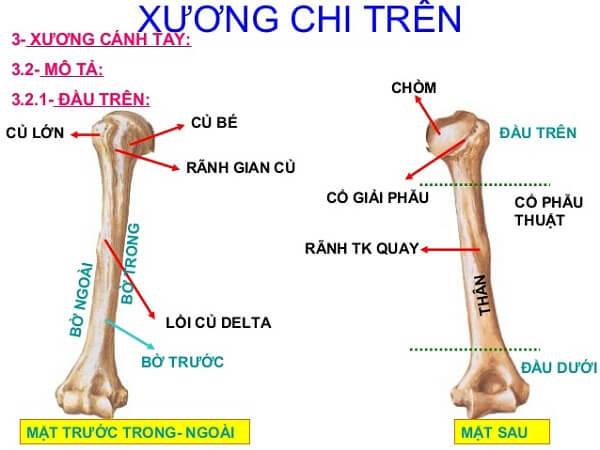 Cấu tạo của xương tay (xương cánh tay)