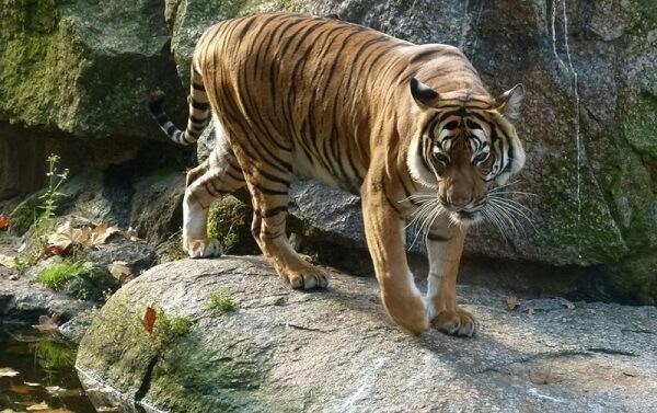 Khi bước lên sườn núi, con hổ dừng lại và phóng mắt nhìn ra xung quanh. Dáng hổ vươn cao theo dốc núi, đuôi cong lên, trông thật đẹp đẽ và oai vệ.