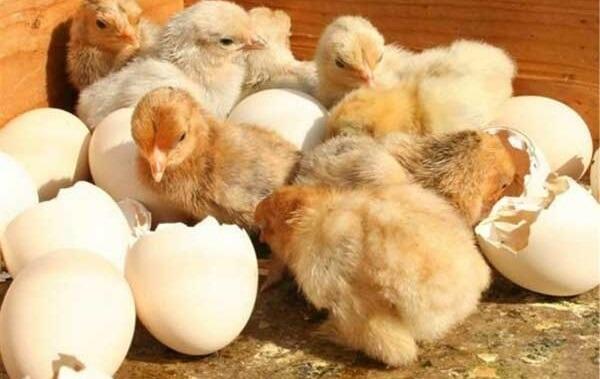Vài tuần trước cô gà mái nhà tôi đã ấp thành công và nở ra một đàn gà con rất xinh xắn, dễ thương.