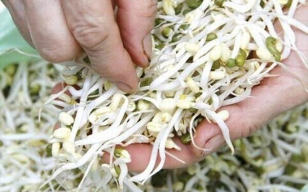 Giá đỗ sau thu hoạch - Cách làm giá đỗ xanh bằng khăn ủ giấy