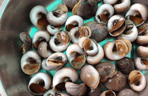 Những con ốc mỡ béo tròn