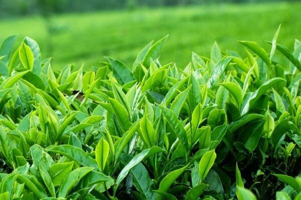 Trà xanh nấu trực tiếp từ lá trà tươi