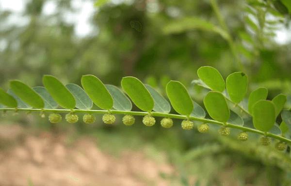 Cách trị mụn bằng cây thuốc diệp hạ châu