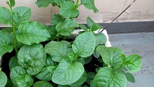 Nên ăn rau gì bổ máu: Rau cải bó xôi (Bina) – Thực phẩm bổ sung máu