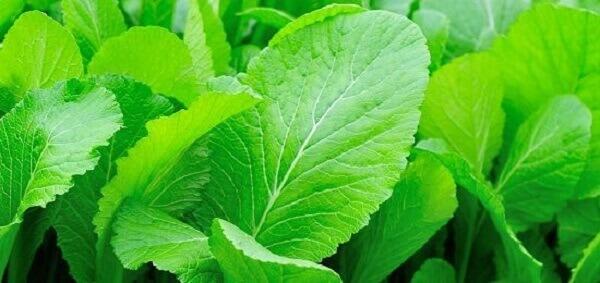 Bị trào ngược dạ dày nên ăn rau cải bẹ xanh