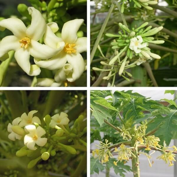 Khám phá công thức hoa đu đủ đực hấp đường phèn trị ho cực hay