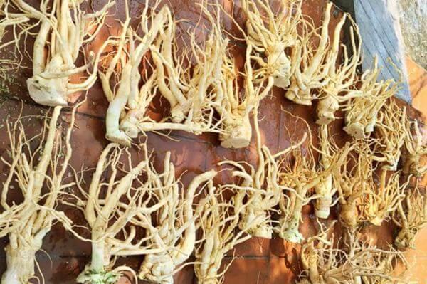 Cây đinh lăng – Tác dụng của đinh lăng: lá, rễ củ ngâm rượu