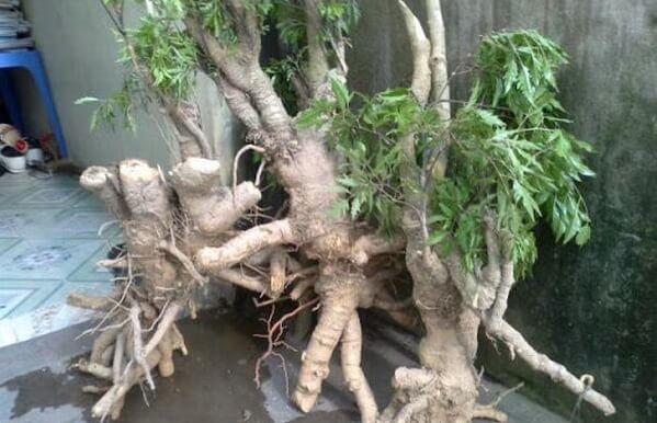 Đinh lăng là một loại cây thuốc quý có rễ cây khá mềm, với nhiều hoạt chất có tác dụng tăng cường trí nhớ nên rất cần thiết cho những người lao động