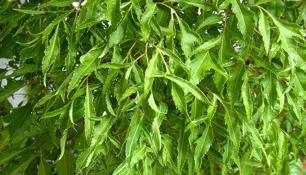 Lá đinh lăng non dùng để ăn sống với nem hoặc gỏi, có nơi dùng lá đinh lăng sao hoặc phơi khô nấu nước uống hằng ngày thay nước chè