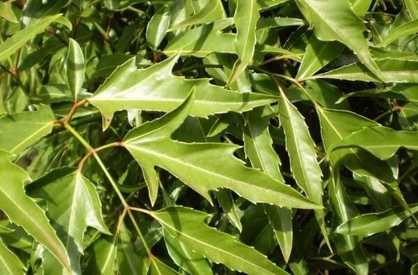 Tác dụng của đinh lăng lá lớn, lá to (đinh lăng tẻ)
