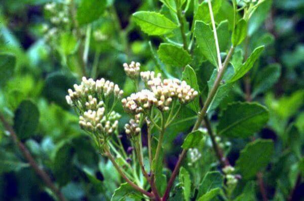 Hoa Đinh lăng thường nở vào khoảng tháng 4 đến tháng 7 và thường nở thành cụm.