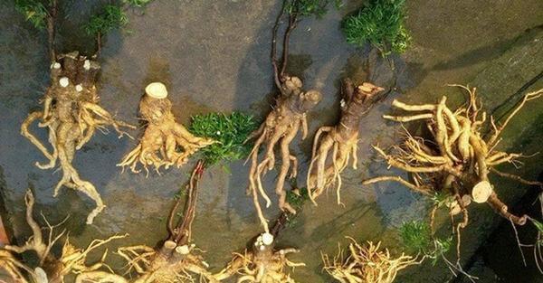 Cách sử dụng toàn bộ cây đinh lăng, lá và củ đinh lăng thế nào cho đúng cách