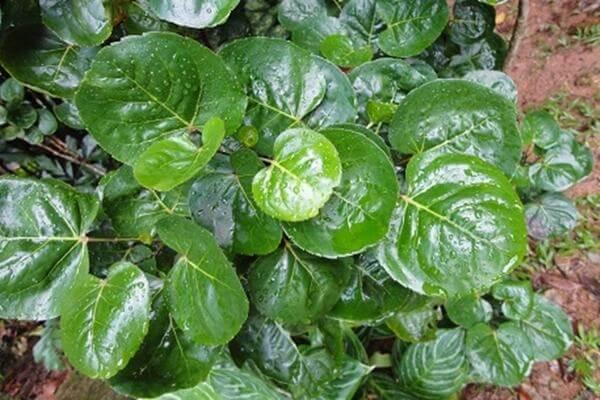 Cây đinh lăng đĩa có lá khác hẳn với đinh lăng lá nhỏ, dáng lá to tròn