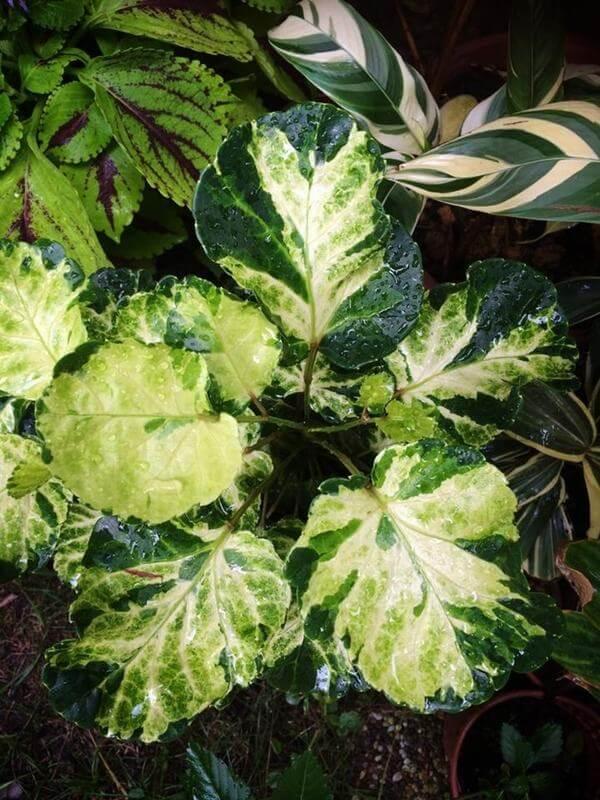 Cây Đinh Lăng Lá Tròn là một loài cây bụi,mọc thẳng,cao từ 1,5 -3,5 met.Là cây thân gỗ,phân nhánh,tròn,dài,thẳng.Lá đơn giản,hơi tròn và lõm.Lá rộng từ 6 - 12cm.Hình trái tim ở gốc và có răng nhỏ quanh viền.