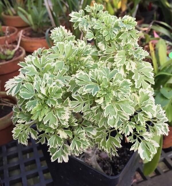 Cây đinh lăng mép lá bạc có tên khoa học là P. guilfoylei var. lacinata