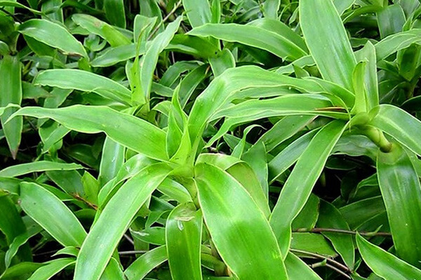 Cách chữa bệnh đau dạ dày bằng cách nhai sống cây lá lược vàng