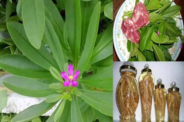 Các loại sâm Việt Nam - Hình ảnh và tác dụng cây sâm rừng, sâm đất