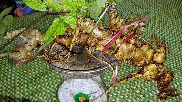 Hình ảnh và tác dụng Sâm ngọc Linh - Sâm chỉ có ở Việt Nam