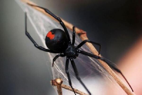 nhện black window cắn hoặc bị nhiễm độc chì, sắt