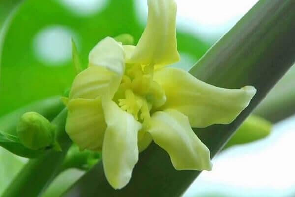 Hoa đu đủ đực ngâm mật ong là bài thuốc mà mọi người thường sử dụng.