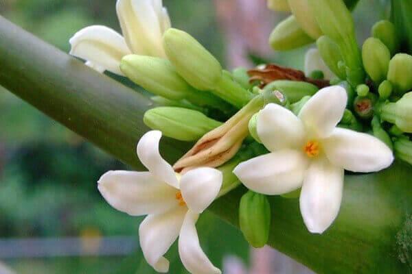 Hoa đu đủ đực ngâm mật ong giúp chữa ho, viêm họng hiệu quả
