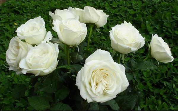 Các mẹo trị ho cho bé, trị Casckhan, ho có đờm cho trẻ sơ sinh dưới 1 tuổi bằng hoa hồng bạch