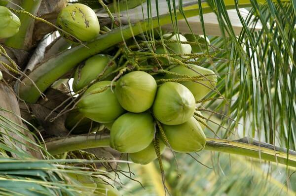 Giải đáp về việc người bị đau dạ dày có nên uống nước dừa, uống có sao không?