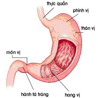 Cấu tạo dạ dày gồm những gì? Bài giảng về các bộ phận dạ dày