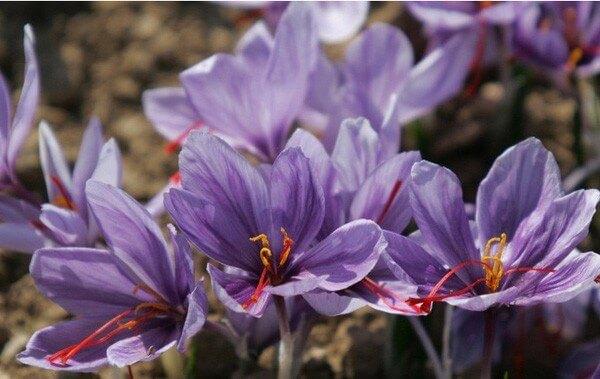 Nhụy hoa nghệ tây tiếng Anh là gì, có nguồn gốc ở đâu?