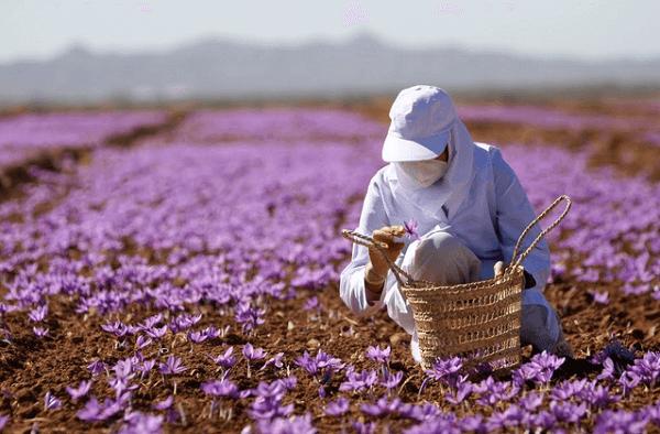 Nhụy hoa nghệ tây dubai, cách dùng nhụy hoa nghệ tây tác dụng, uống nhụy hoa nghệ tây