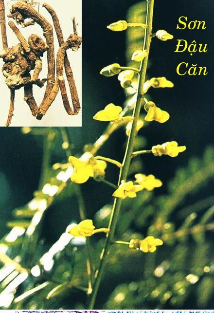 Sơn đậu căn là vị thuốc trị amidan thể cấp tính.