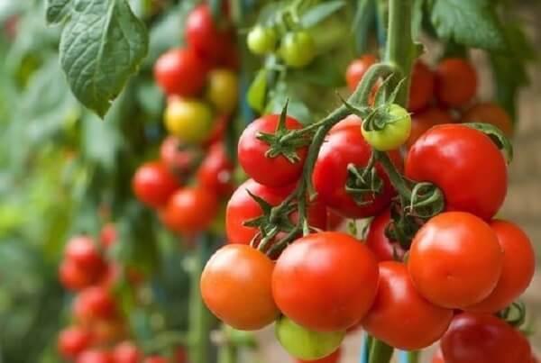 Cà chua được xem là một thực phẩm giàu chất dinh dưỡng