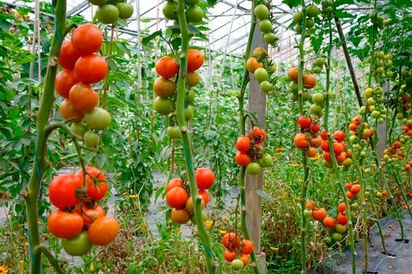 Cà chua tốt cho người viêm thận
