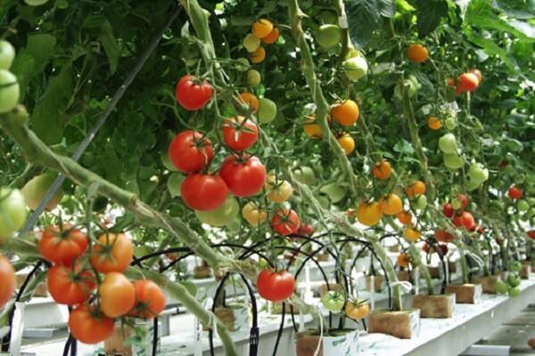 Đặc biệt cà chua chứa rất ít cholesterol, chất béo bão hóa và calo