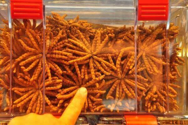 Tác dụng của đông trùng hạ thảo Tây Tạng