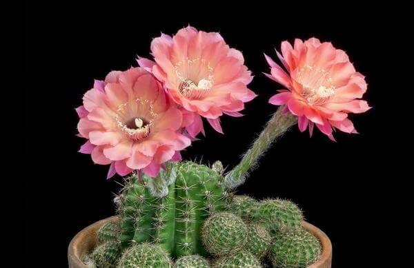 Hoa xương rồng - sự mạnh mẽ, ý chí vươn lên - Hình ảnh những bó hoa sinh nhật đẹp nhất thế giới, độc đáo ý nghĩa