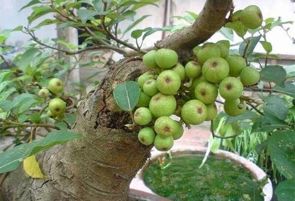 Trong dân gian còn lưu truyền lại nhiều cách chữa sỏi mật, sỏi thận, trong đó thường ưa dùng nhất là bài thuốc từ trái sung.