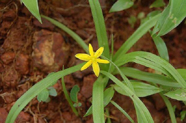 Sâm cau - có lá giống lá cau, cây thường chỉ cao 20 - 30cm, sống lâu năm, hoa vàng.