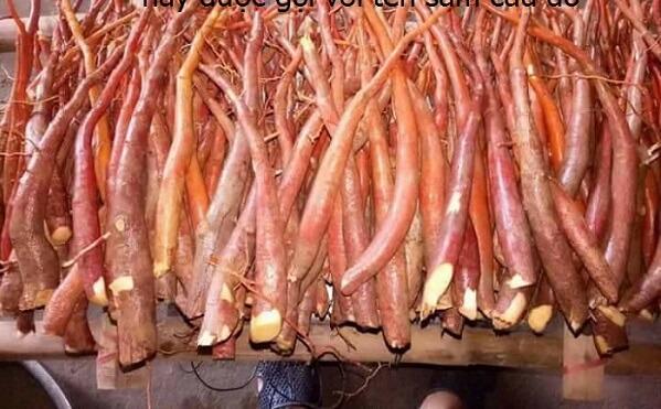 Hình ảnh và tác dụng cây sâm cau đỏ (rễ cây bồng bồng)